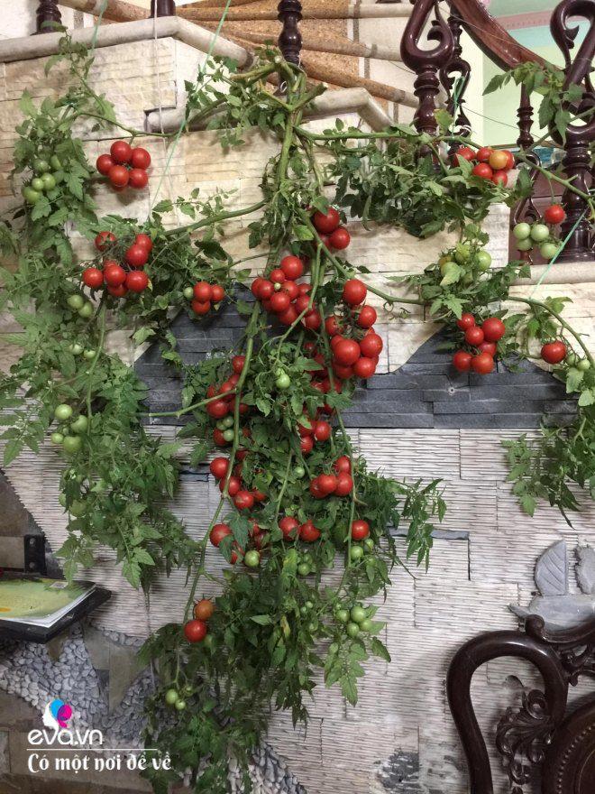 Giữa lòng thủ đô, thanh niên làm vườn ao chuồng, thu về cả tạ cá, cà chua, su hào...đủ loại - 6