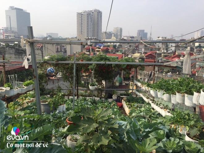 Giữa lòng thủ đô, thanh niên làm vườn ao chuồng, thu về cả tạ cá, cà chua, su hào...đủ loại - 22