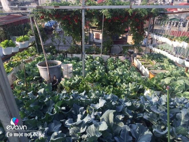 Giữa lòng thủ đô, thanh niên làm vườn ao chuồng, thu về cả tạ cá, cà chua, su hào...đủ loại - 4