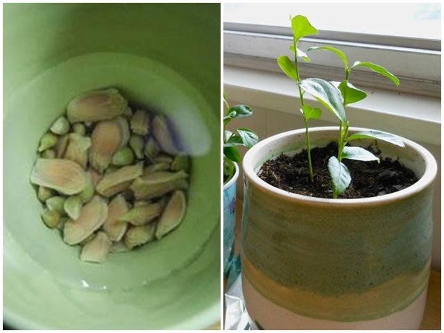 Cách trồng cây chanh từ hạt cực dễ, để bàn xinh xắn, tiện làm gia vị nấu ăn