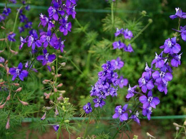 Hoa Violet: Hình ảnh, cách cắm và ý nghĩa loài hoa màu tím tuyệt đẹp