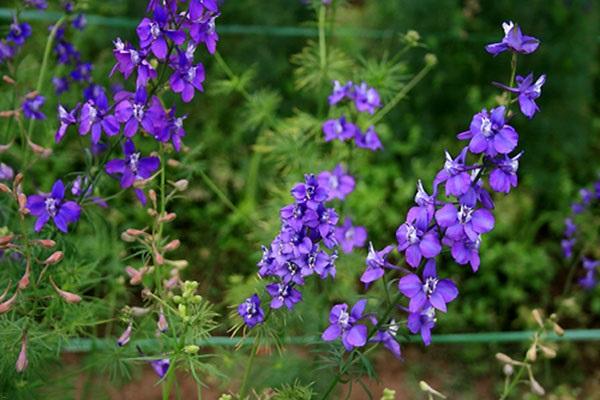 Hoa Violet: Hình ảnh, cách cắm và ý nghĩa loài hoa màu tím tuyệt đẹp - 4