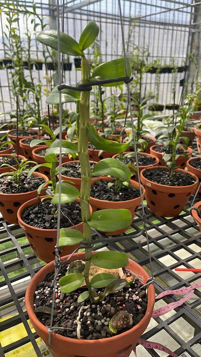 Đào Ngọc Tuân không ngại chia sẻ kỹ thuật trồng và chăm sóc cây hoa lan - 4