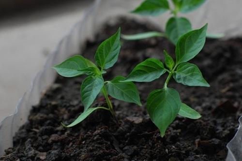 Tận dụng đồ thừa trong bếp mang đi trồng, thành quả đảm bảo khiến bạn bất ngờ - 4
