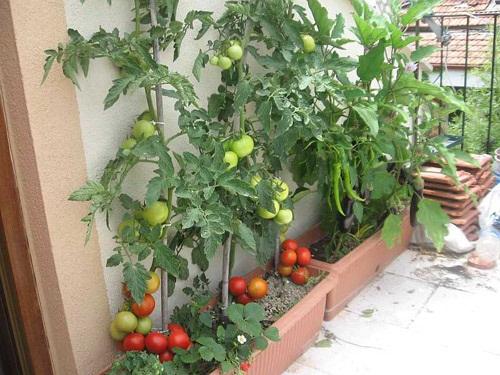 Tận dụng đồ thừa trong bếp mang đi trồng, thành quả đảm bảo khiến bạn bất ngờ - 11