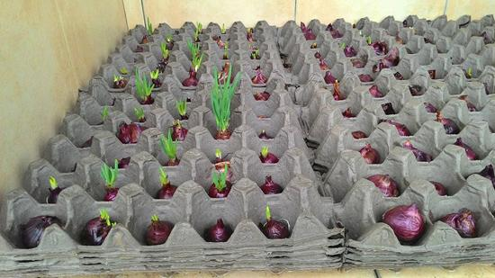 Cách trồng hành không cần đất, chỉ với 5 nghìn có hành ăn quanh năm - 8