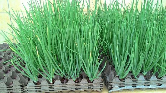 Cách trồng hành không cần đất, chỉ với 5 nghìn có hành ăn quanh năm - 9