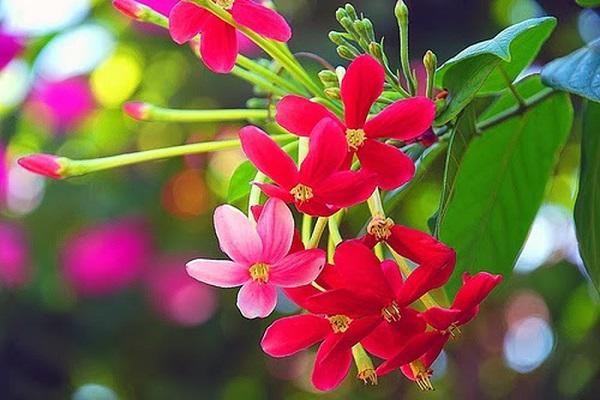 trong hoa su quan tu day leo to diem cho tuong nha them ruc ro - 8