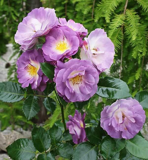 Cách chăm sóc cây hoa hồng tím quý hiếm, không phải chuyên gia vẫn cho hoa đẹp mĩ mãn - 7