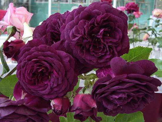 Cách chăm sóc cây hoa hồng tím quý hiếm, không phải chuyên gia vẫn cho hoa đẹp mĩ mãn - 8