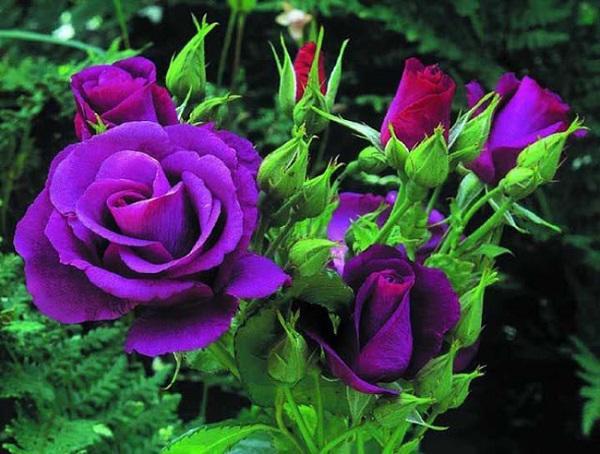 Cách chăm sóc cây hoa hồng tím quý hiếm, không phải chuyên gia vẫn cho hoa đẹp mĩ mãn - 3