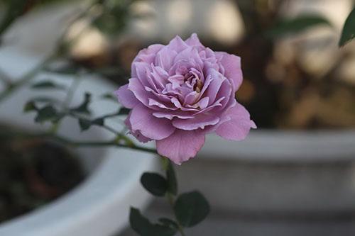 Cách chăm sóc cây hoa hồng tím quý hiếm, không phải chuyên gia vẫn cho hoa đẹp mĩ mãn - 4