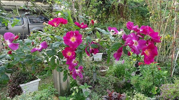 Cách chăm sóc cây hoa hồng tím quý hiếm, không phải chuyên gia vẫn cho hoa đẹp mĩ mãn - 9