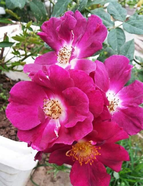 Cách chăm sóc cây hoa hồng tím quý hiếm, không phải chuyên gia vẫn cho hoa đẹp mĩ mãn - 5