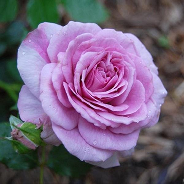 Cách chăm sóc cây hoa hồng tím quý hiếm, không phải chuyên gia vẫn cho hoa đẹp mĩ mãn - 6