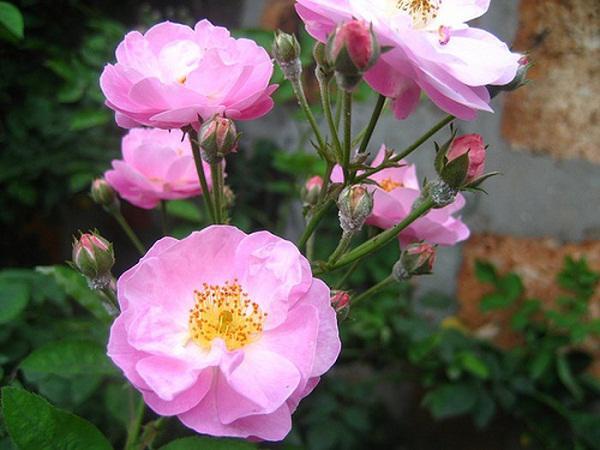 Cách trồng hoa hồng dại làm hàng rào tuyệt đẹp, không cần chăm nhiều cây vẫn sống khỏe - 4