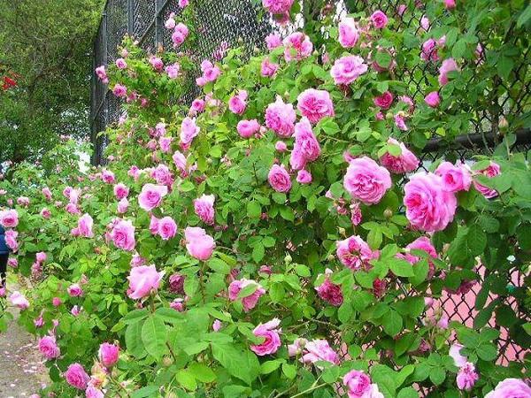 Cách trồng hoa hồng dại làm hàng rào tuyệt đẹp, không cần chăm nhiều cây vẫn sống khỏe - 3