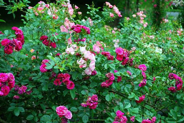 Cách trồng hoa hồng dại làm hàng rào tuyệt đẹp, không cần chăm nhiều cây vẫn sống khỏe - 1