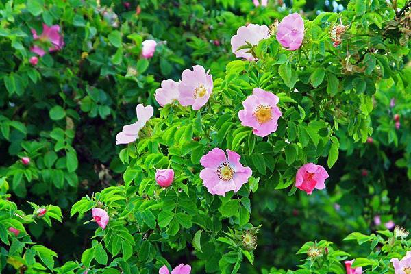 Cách trồng hoa hồng dại làm hàng rào tuyệt đẹp, không cần chăm nhiều cây vẫn sống khỏe - 5