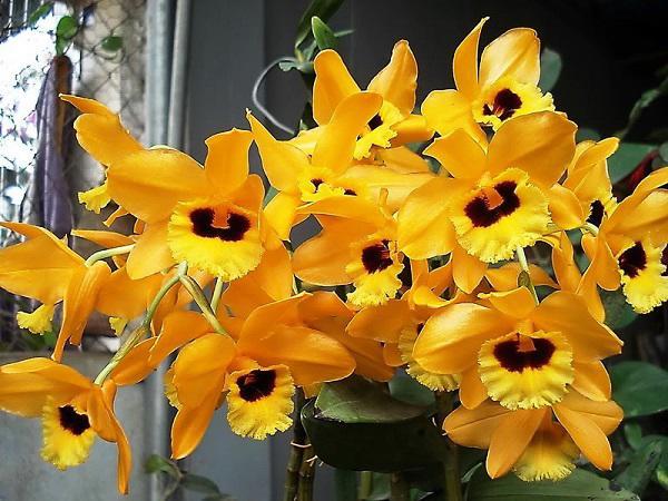 ten va hinh anh cac loai hoa phong lan dep, pho bien nhat danh cho nguoi moi choi - 15