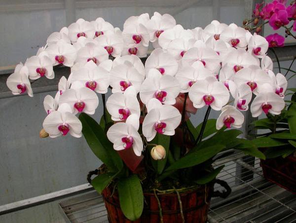 ten va hinh anh cac loai hoa phong lan dep, pho bien nhat danh cho nguoi moi choi - 4