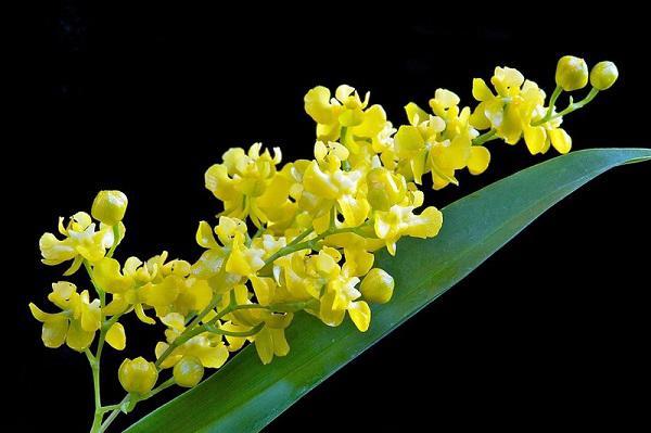 ten va hinh anh cac loai hoa phong lan dep, pho bien nhat danh cho nguoi moi choi - 6