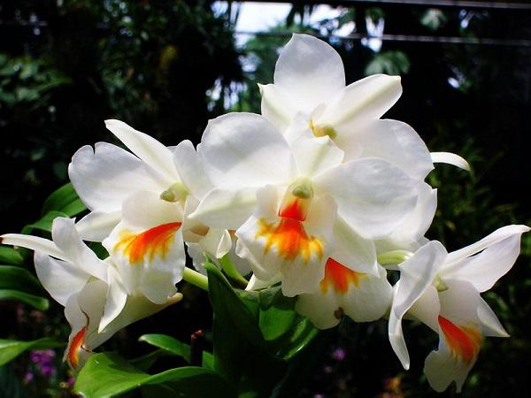 ten va hinh anh cac loai hoa phong lan dep, pho bien nhat danh cho nguoi moi choi - 8
