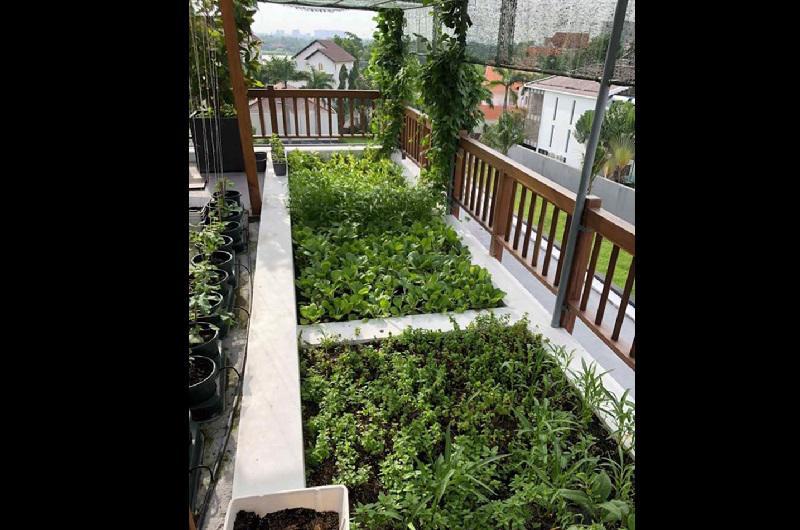 Để tiết kiệm diện tích Phương Lê trồng thêm rau thơm dưới giàn, những loại cây này không cần nhiều ánh sáng vẫn có thể phát triển tốt.