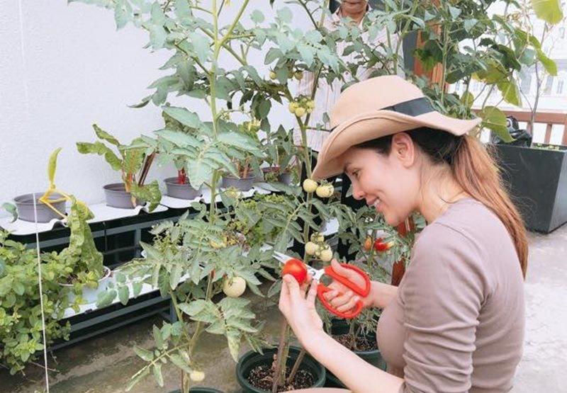 Trong vườn, bà mẹ 3 con thích nhất là trồng cà chua loại cây vừa dễ trồng vừa tốt cho sức khỏe.