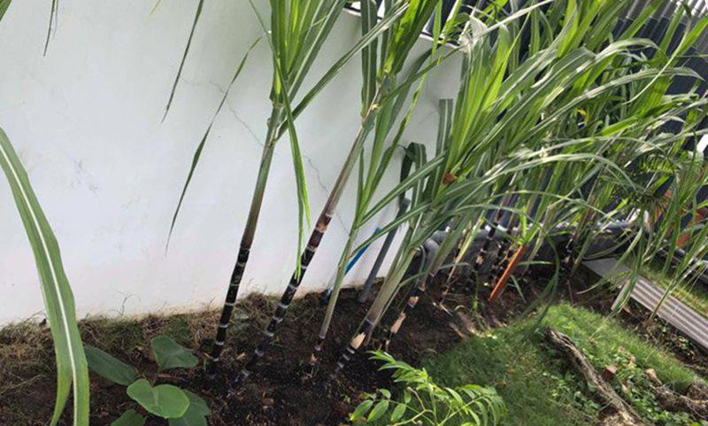 Một góc khác bên chân tường Phương Lê tận dụng trồng mía.