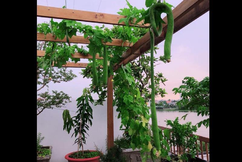 Sân thượng được người đẹp cải tạo chỉnh chu, đầu tưtừ hệ thống giàn trồng cây leo như bí, mướp, dưa...