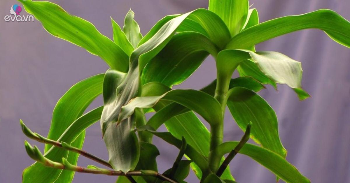 Cây lược vàng: Đặc điểm, tác dụng và cách trồng