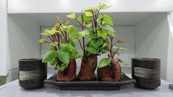 """trong khoai lang phien ban bonsai gay sot, mat vai nghin ma """"chanh"""" nhu tien trieu - 2"""