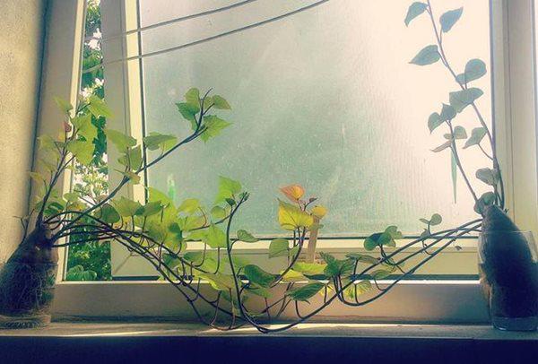 """trong khoai lang phien ban bonsai gay sot, mat vai nghin ma """"chanh"""" nhu tien trieu - 5"""