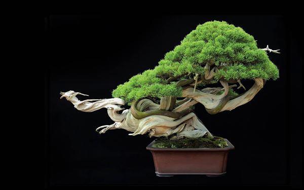 Cây bonsai và các dáng dây có ý nghĩa phong thủy tài lộc - 1