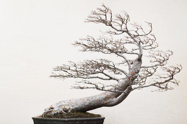 Cây bonsai và các dáng dây có ý nghĩa phong thủy tài lộc - 12