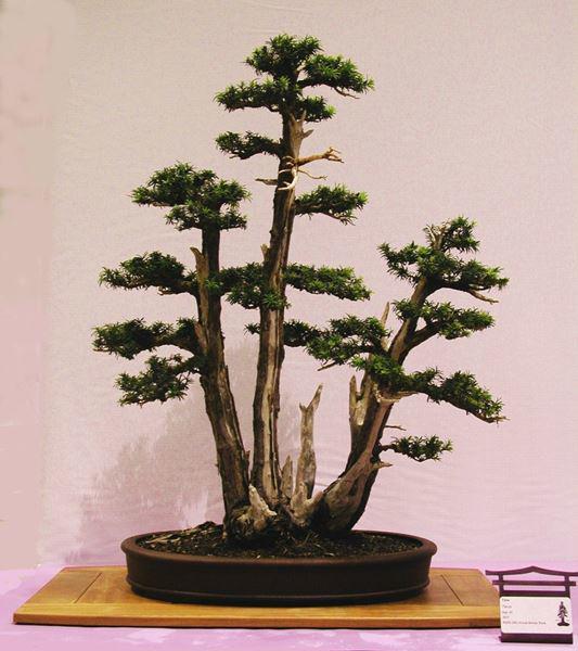 Cây bonsai và các dáng dây có ý nghĩa phong thủy tài lộc - 3