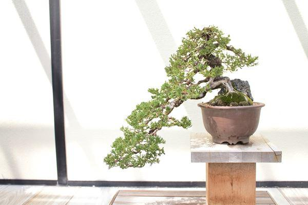 Cây bonsai và các dáng dây có ý nghĩa phong thủy tài lộc - 4