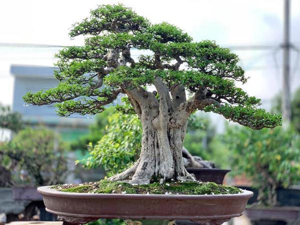 Cây bonsai và các dáng dây có ý nghĩa phong thủy tài lộc - 5