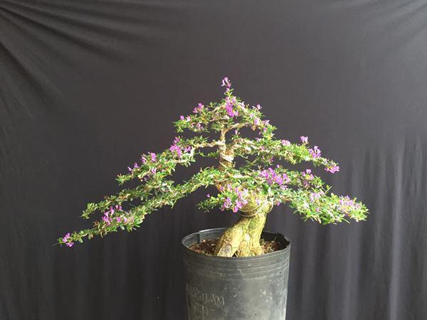 Cây bonsai và các dáng dây có ý nghĩa phong thủy tài lộc - 6