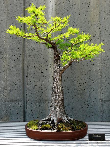 Cây bonsai và các dáng dây có ý nghĩa phong thủy tài lộc - 7