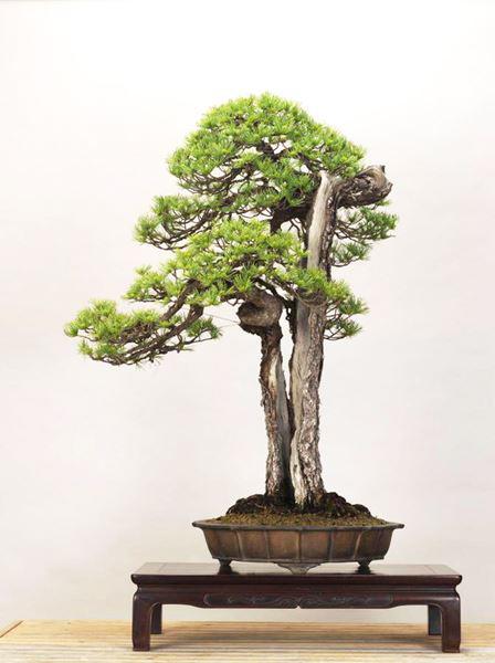 Cây bonsai và các dáng dây có ý nghĩa phong thủy tài lộc - 8