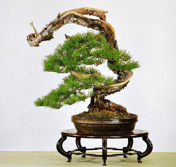 Cây bonsai và các dáng dây có ý nghĩa phong thủy tài lộc - 9