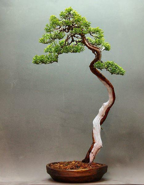 Cây bonsai và các dáng dây có ý nghĩa phong thủy tài lộc - 10