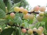 Kiếm trăm triệu dễ như chơi nhờ trồng loại rau quen thuộc này