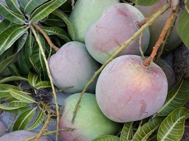 Mê mẩn vườn xoài trái khổng lồ như đào tiên ở vùng biên Bình Phước