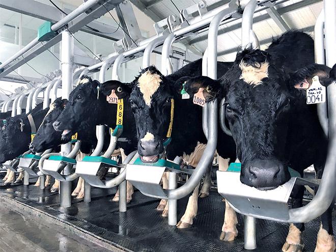 Dấu ấn mang tên Vinamilk trong phát triển ngành chăn nuôi bò sữa công nghệ cao Việt Nam - 1