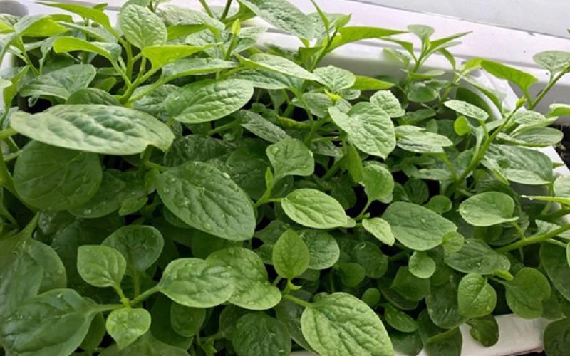 Ngoài mướp, bà mẹ hai con trồng rau muống, mồng tơi, cà tím, cải xanh, đậu rồng, dưa leo và các loại rau gia vị.