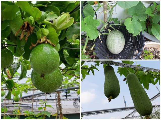 Nông trại trên sân thượng trồng đủ loại rau xanh, quả ngọt của nữ giáo viên Đà Nẵng