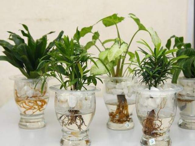Những loại cây phong thủy không cần đất, đặt ở đâu may mắn đổ về chỗ đó